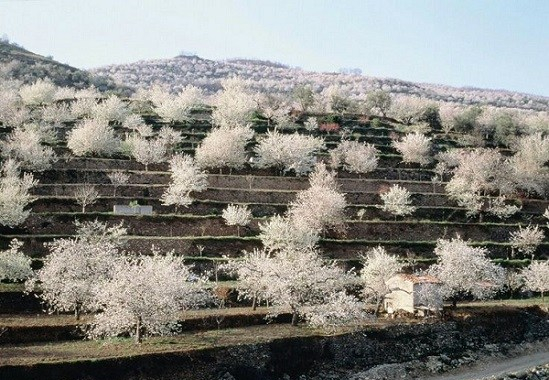 cherry trees extremadura
